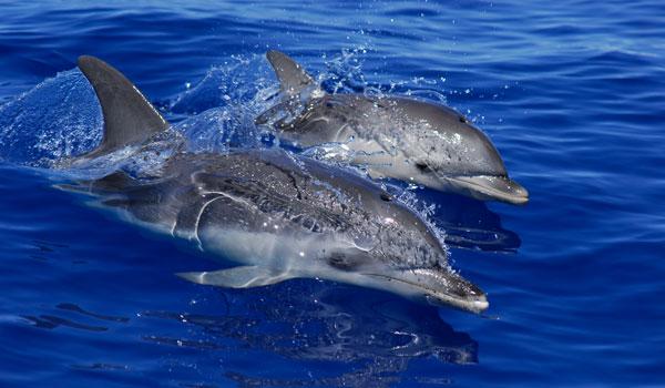 Delfinsafari och valsafari på Teneriffa